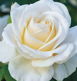 Weeks Roses Easy Spirit™ Floribunda Rose