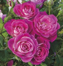 Weeks Roses Easy To Please™ Floribunda Rose