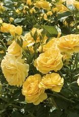 Weeks Roses Julia Child™ Floribunda Rose