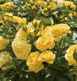Weeks Roses Julia Child™ Floribunda Rose