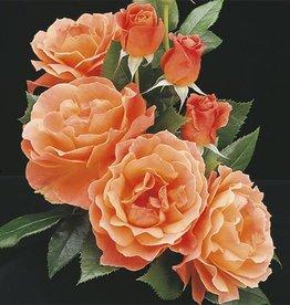 Weeks Roses Livin' Easy™ Floribunda Rose