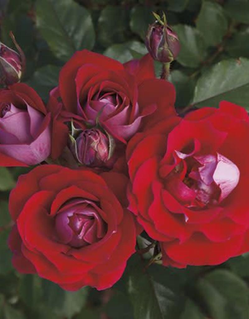 Weeks Roses Take It Easy™ Shrub Rose