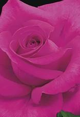 Weeks Roses All My Loving™ Hybrid Tea Rose