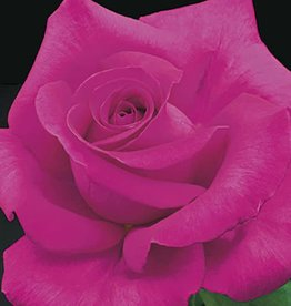 Weeks Roses All My Loving™ Hybrid Tea Rose