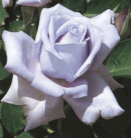 Weeks Roses Blue Girl™ Hybrid Tea Rose