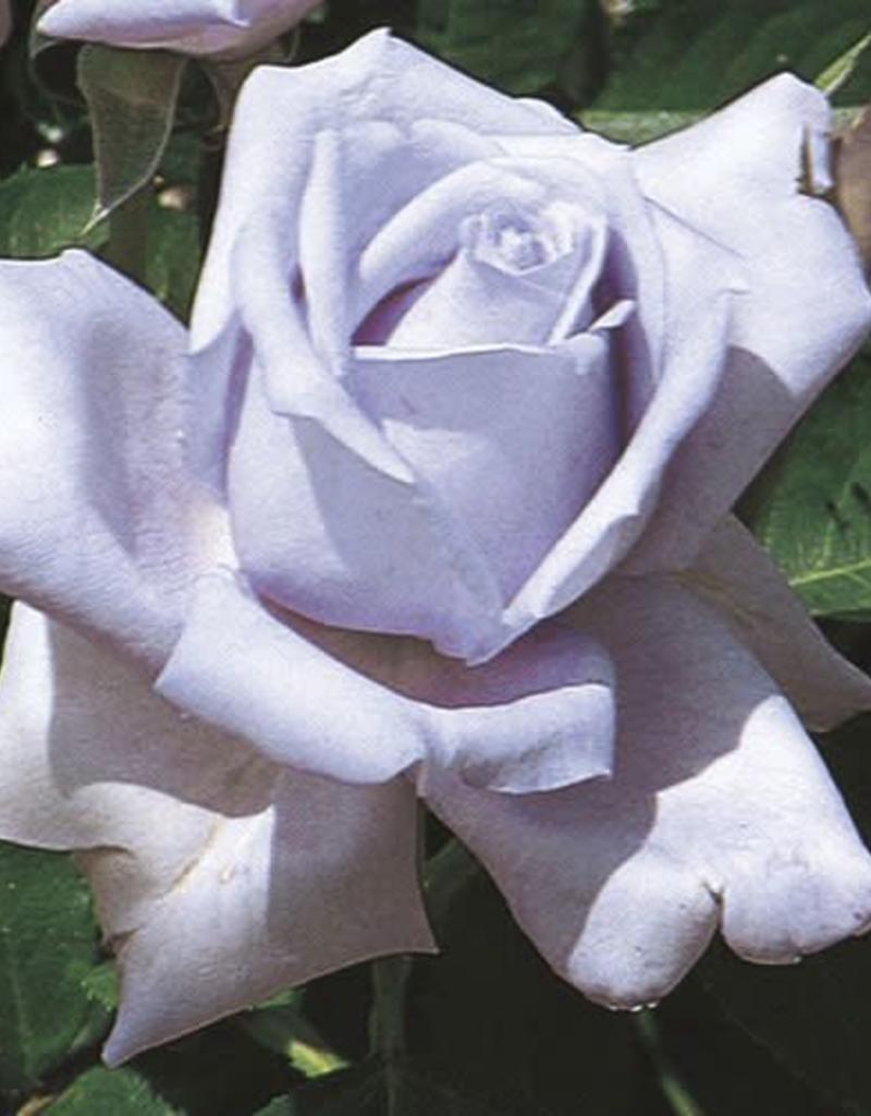Weeks Roses Blue Girl™ Hybrid Tea Rose