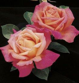 Weeks Roses Chicago Peace™ Hybrid Tea Rose