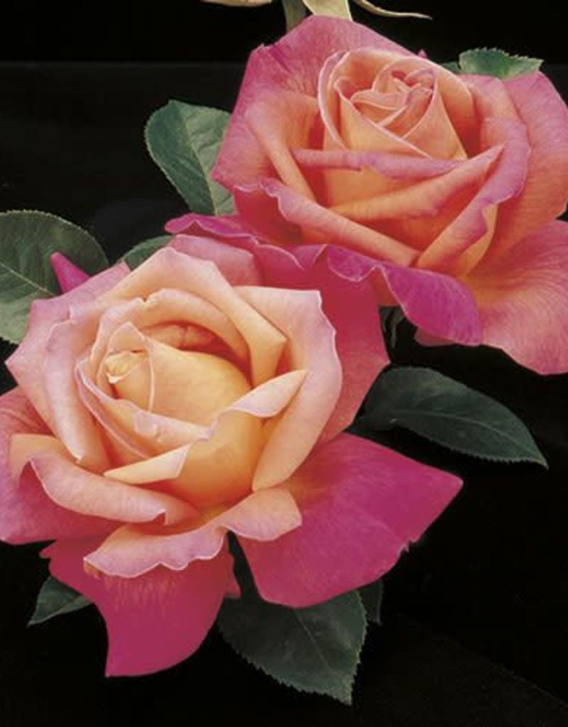 Weeks Roses Chicago Peace™ Hybrid Tea Rose