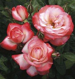 Weeks Roses Coretta Scott King™ Grandiflora Rose