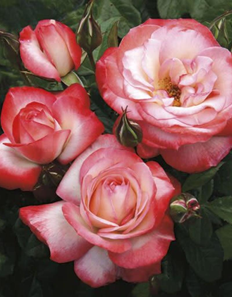 Weeks Roses Coretta Scott King™ Grandiflora Rose