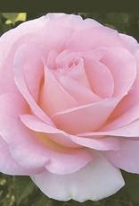 Weeks Roses Falling in Love™ Hybrid Tea Rose