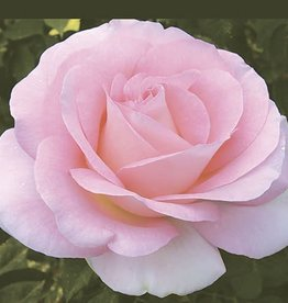 Weeks Roses Falling in Love™ Hybrid Tea Rose