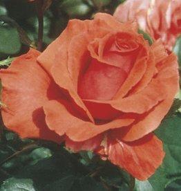 Weeks Roses Fragrant Cloud™ Hybrid Tea Rose