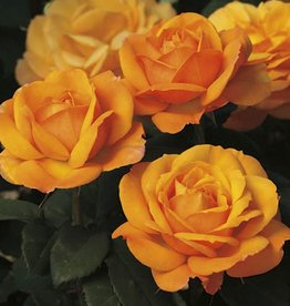 Weeks Roses Good as Gold™ Hybrid Tea Rose
