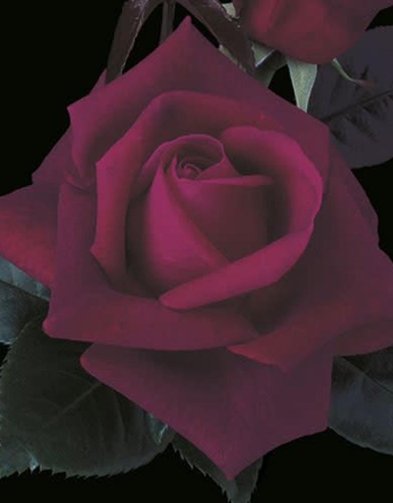 Weeks Roses Lasting Love® Hybrid Tea Rose