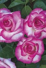 Weeks Roses Miss Congeniality™ Grandiflora Rose