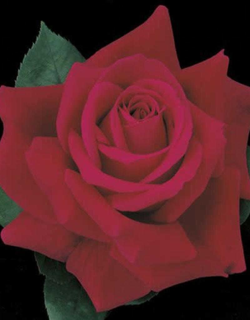 Weeks Roses Mister Lincoln™ Hybrid Tea Rose