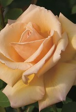 Weeks Roses Over the Moon™ Hybrid Tea Rose