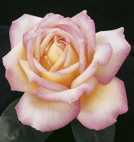 Weeks Roses Peace™ Hybrid Tea Rose