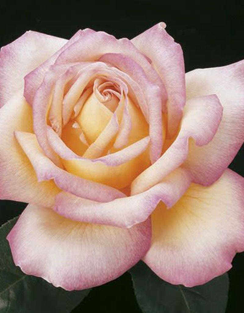 Weeks Roses Peace™ Hybrid Tea Rose