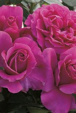 Weeks Roses Pretty Lady Rose™ Hybrid Tea