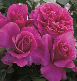 Weeks Roses Pretty Lady Rose™ Hybrid Tea