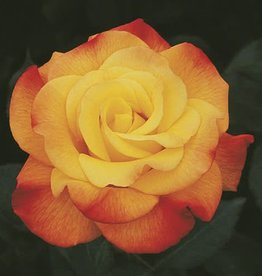 Weeks Roses Rio Samba™ Hybrid Tea Rose