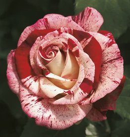 Weeks Roses Rock & Roll™ Grandiflora Rose