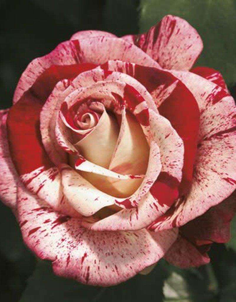 Weeks Roses Rock & Roll™ Grandiflora Rose