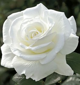 Weeks Roses Sugar Moon™ Hybrid Tea Rose