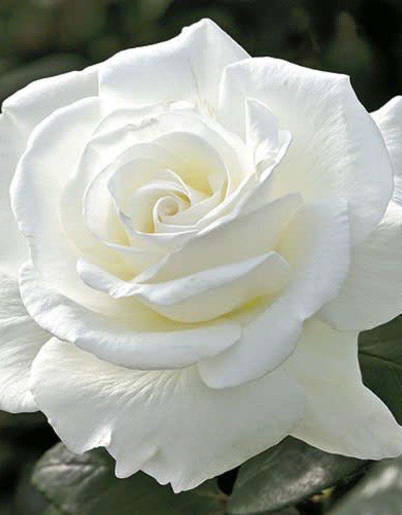 Weeks Roses Sugar Moon™ Hybrid Tea Rose