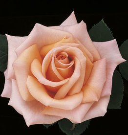 Weeks Roses Sunset Celebration™ Hybrid Tea Rose