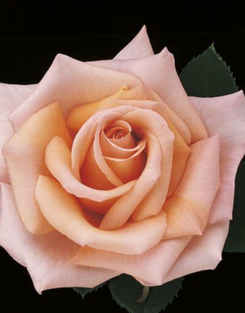 Weeks Roses Sunset Celebration™ Hybrid Tea Rose