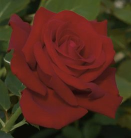 Weeks Roses Drop Dead Red™ Floribunda Rose