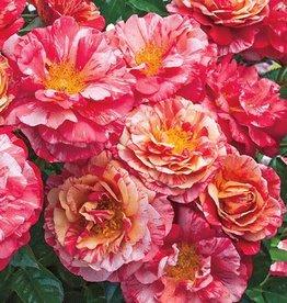 Weeks Roses Frida Kahlo™ Floribunda Rose
