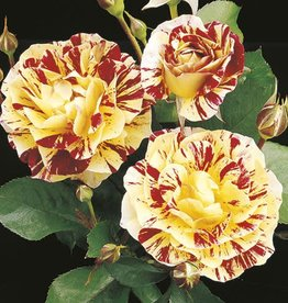 Weeks Roses George Burns™ Floribunda Rose