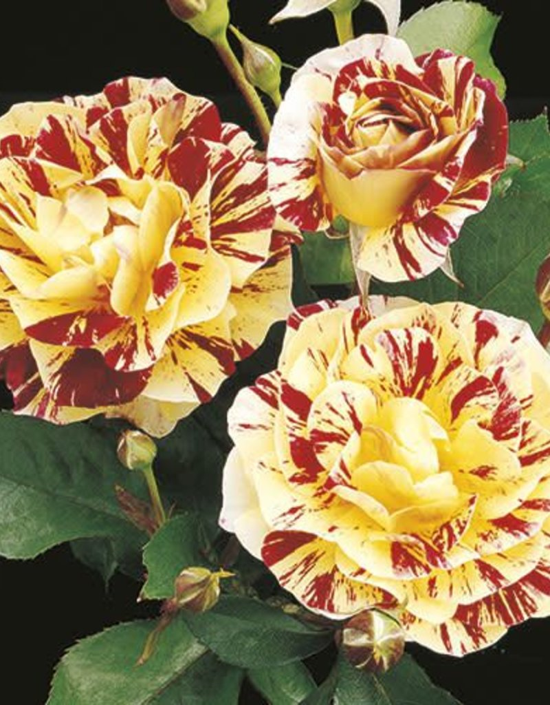 Weeks Roses George Burns™ Floribunda Rose
