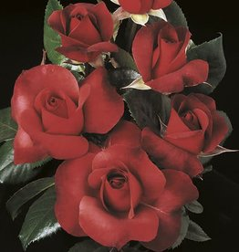 Weeks Roses Hot Cocoa™ Floribunda Rose