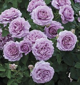 Weeks Roses Love Song™ Floribunda Rose
