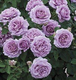 Weeks Roses Love Song™ Floribunda Rose