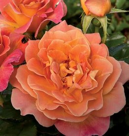 Weeks Roses Rosie the Riveter™ Floribunda Rose