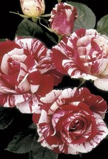Weeks Roses Scentimental™ Floribunda Rose