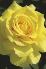 Weeks Roses Sunsprite™ Floribunda Rose