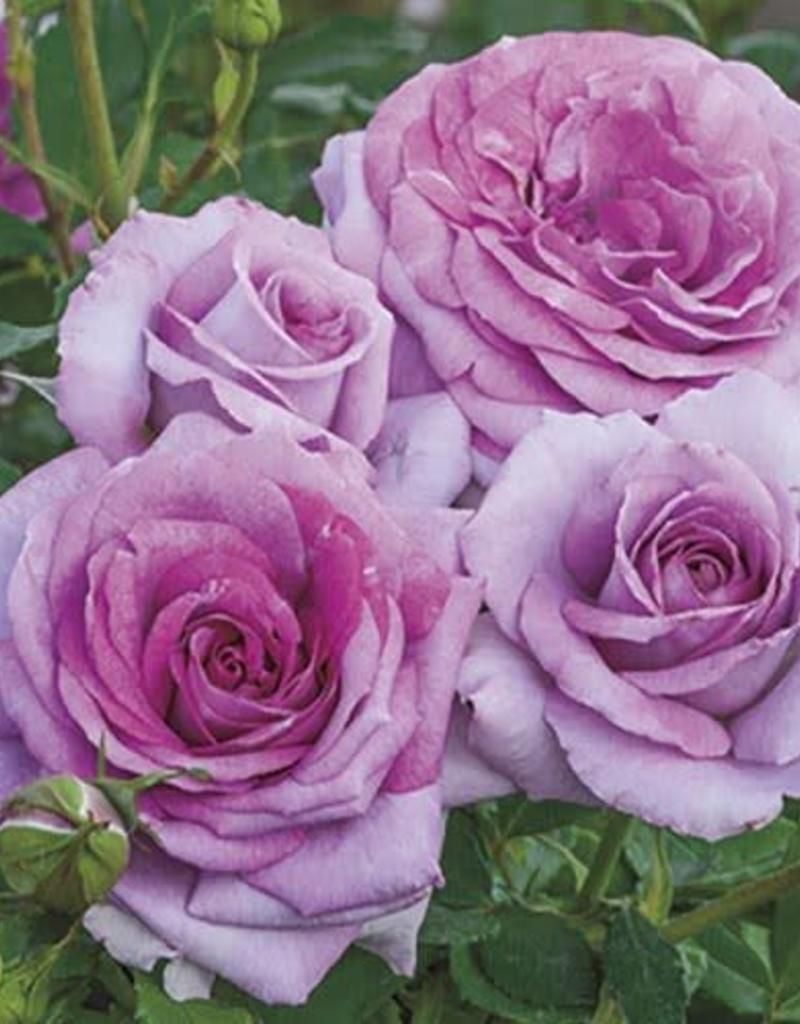 Weeks Roses Violet's Pride™ Floribunda Rose