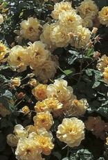 Weeks Roses Autumn Sunset® Climbing Rose