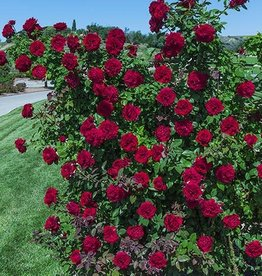 Weeks Roses Lady In Red™ Climbing Rose