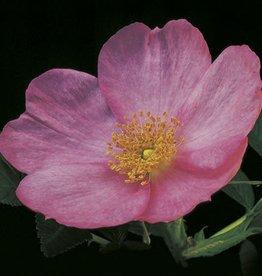 Weeks Roses Frau Dagmar Hartopp™ Rugosa Rose