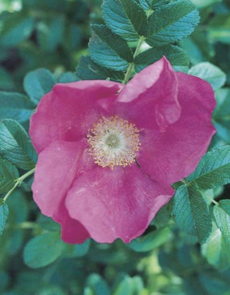 Weeks Roses Rosa Rugosa Rose
