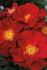 Weeks Roses Top Gun™ Shrub Rose