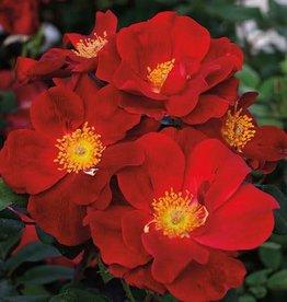 Weeks Roses Top Gun™ Shrub Rose